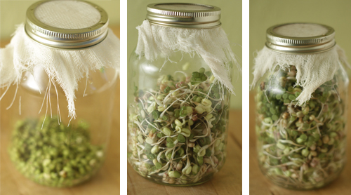 Prodession of Mung bean sprouts grown in a simple canning jar with cheesecloth screen for rinsing.